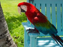 Rode Papegaai in Aruba royalty-vrije stock fotografie