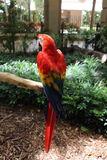 Rode papegaai, Wilderniseiland, Miami, Florida stock fotografie