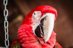 Rode papegaaiara Royalty-vrije Stock Foto