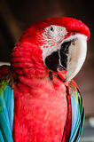 Rode papegaaiara Stock Fotografie