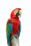 Rode papegaaien Royalty-vrije Stock Fotografie