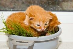 Rode pasgeboren katjes die in een kom op een witte lijst zonder een moeder zitten de kleine blinde huisdieren sluiten omhoog royalty-vrije stock foto's
