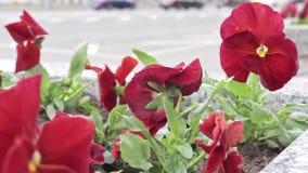 Rode pensy altviool mooie kleurrijke bloemen in het stadsbloembed in wind, stedelijk verkeer op de achtergrond, auto's het berijd stock footage