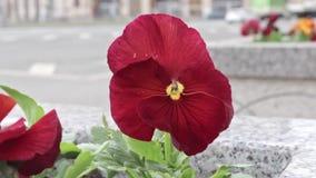Rode pensy altviool mooie kleurrijke bloemen in het stadsbloembed in wind, stedelijk verkeer op de achtergrond, auto's het berijd stock videobeelden