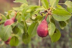 Rode peren op een tak van perenboom Stock Foto