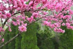 Rode perzikboom en groene achtergrond stock afbeeldingen