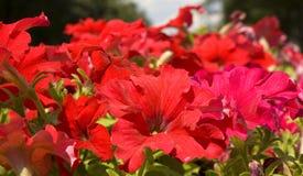 Rode petunia Stock Afbeeldingen