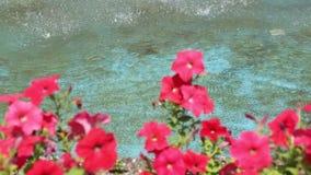 Rode petunia in de wind stock videobeelden