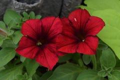 Rode petunia twee in een overzees van groene bladeren stock foto's