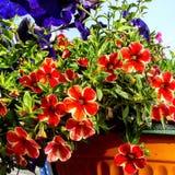 Rode petuniabloemen in de zomer Royalty-vrije Stock Afbeelding
