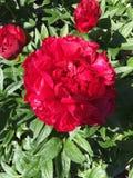 Rode pioen Royalty-vrije Stock Afbeeldingen