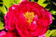 Rode pioenbloei Royalty-vrije Stock Foto's