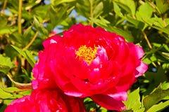 Rode pioenbloei Royalty-vrije Stock Afbeeldingen