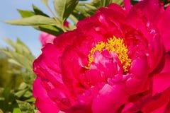 Rode pioenbloei Royalty-vrije Stock Fotografie