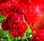 Rode pioenen Stock Afbeeldingen