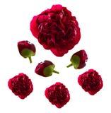 Rode pioenen Royalty-vrije Stock Foto's