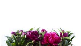 Rode pioenen bij grens van beeld met exemplaarruimte voor tekst Royalty-vrije Stock Foto