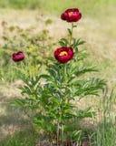 Rode pioenen in de tuin Bloeiende rode pioen Stock Fotografie