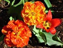 Rode pioentulpen en ??n eenvoudige rode tulp Close-up stock foto's