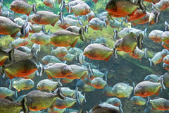 Rode piranha (Pygocentrus-nattereri) Royalty-vrije Stock Afbeeldingen
