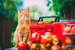 Rode pluizige kat met verse tomaten stock afbeeldingen