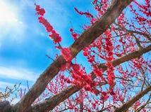 Rode Plum Blooming in het Dorp van Wondong Maehwa, Yangsan, Zuid-Korea, Azië stock afbeelding