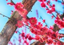 Rode Plum Blooming in het Dorp van Wondong Maehwa, Yangsan, Zuid-Korea, Azië royalty-vrije stock fotografie