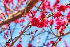 Rode Plum Blooming in het Dorp van Wondong Maehwa, Yangsan, Zuid-Korea, Azië royalty-vrije stock afbeeldingen