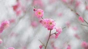 Rode Plum Flowers, in het Park van Showa Kinen, Tokyo, Japan stock videobeelden