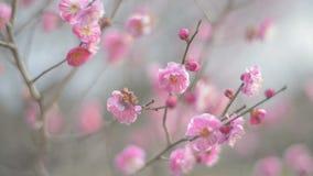 Rode Plum Flowers, in het Park van Showa Kinen, Tokyo, Japan stock video