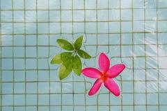 Rode Plumeria met groene bladeren royalty-vrije stock fotografie