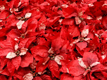 Rode poinsettas Stock Afbeelding