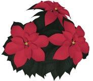 Rode Poinsettia Royalty-vrije Stock Foto's