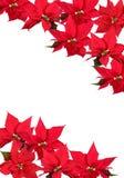 Rode Poinsettia - achtergrond Stock Foto