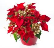 Rode poinsettia. Kerstmis bloem met gouden deco Stock Foto's