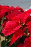 Rode poinsettiabloemen Stock Afbeelding