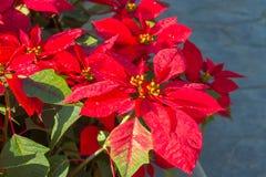 Rode poinsettiabloemen of Kerstmisster Stock Afbeeldingen