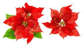 Rode poinsettiabloesem met groene bladeren Kerstmisbloem Stock Foto
