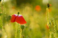 Rode Poppie-Bloem op Gebied Stock Foto's