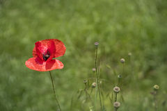 Rode poppie op het groene gebied Stock Fotografie