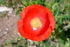 Rode Poppy Flower in Volledige Bloei Royalty-vrije Stock Foto's