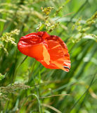 Rode Poppy Flower Windy Day Insect royalty-vrije stock afbeeldingen