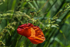 Rode Poppy Flower Windy Day Insect Stock Afbeelding