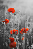 Rode Poppy Flowers Remembrance Day/Zondag Stock Fotografie