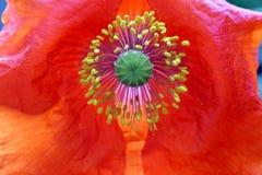 Rode Poppy Petals met Zonovergoten Helmknoppen stock foto's