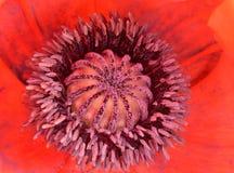 Rode Poppy Seed Head Stock Foto's