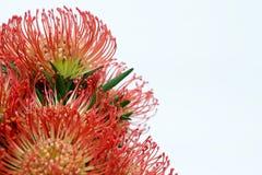 Rode protea Stock Afbeeldingen