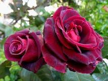 Rode purpere rozen in tuin Stock Afbeeldingen