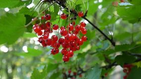 Rode Ribes-rubrum bessen op de lengte van het installatieclose-up HD - de redcurrant vergankelijke natuurlijke ondiepe video van  stock videobeelden