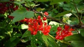 Rode Ribes-rubrum bessen op de lengte van het installatieclose-up HD - de redcurrant vergankelijke natuurlijke ondiepe video van  stock footage